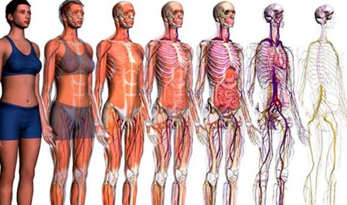 anatomia sistemica