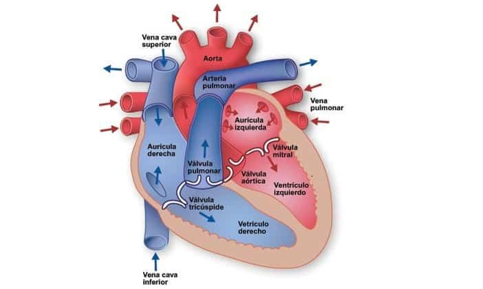 estructura y partes del corazon