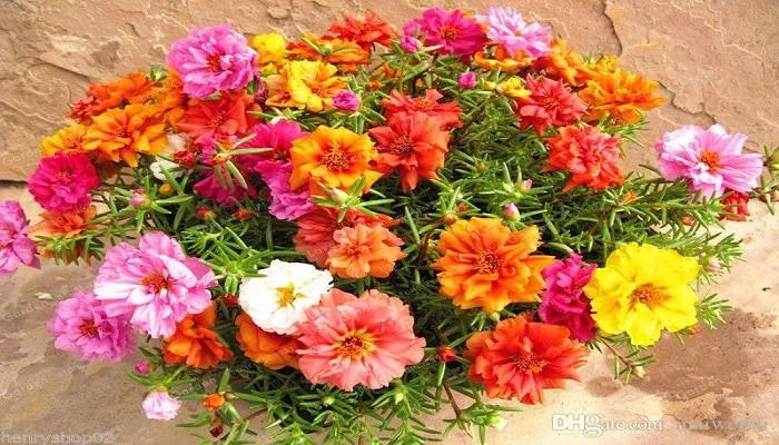100-semillas-de-flor-doble-de-purslane-de