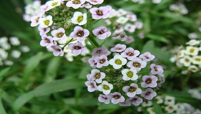 flor-Alyssum-Maritimum