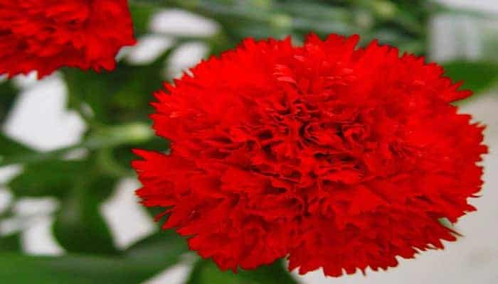 flores-de-dianthus-caryophyllus