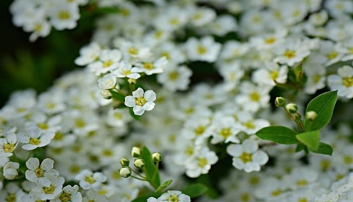 white-alyssum